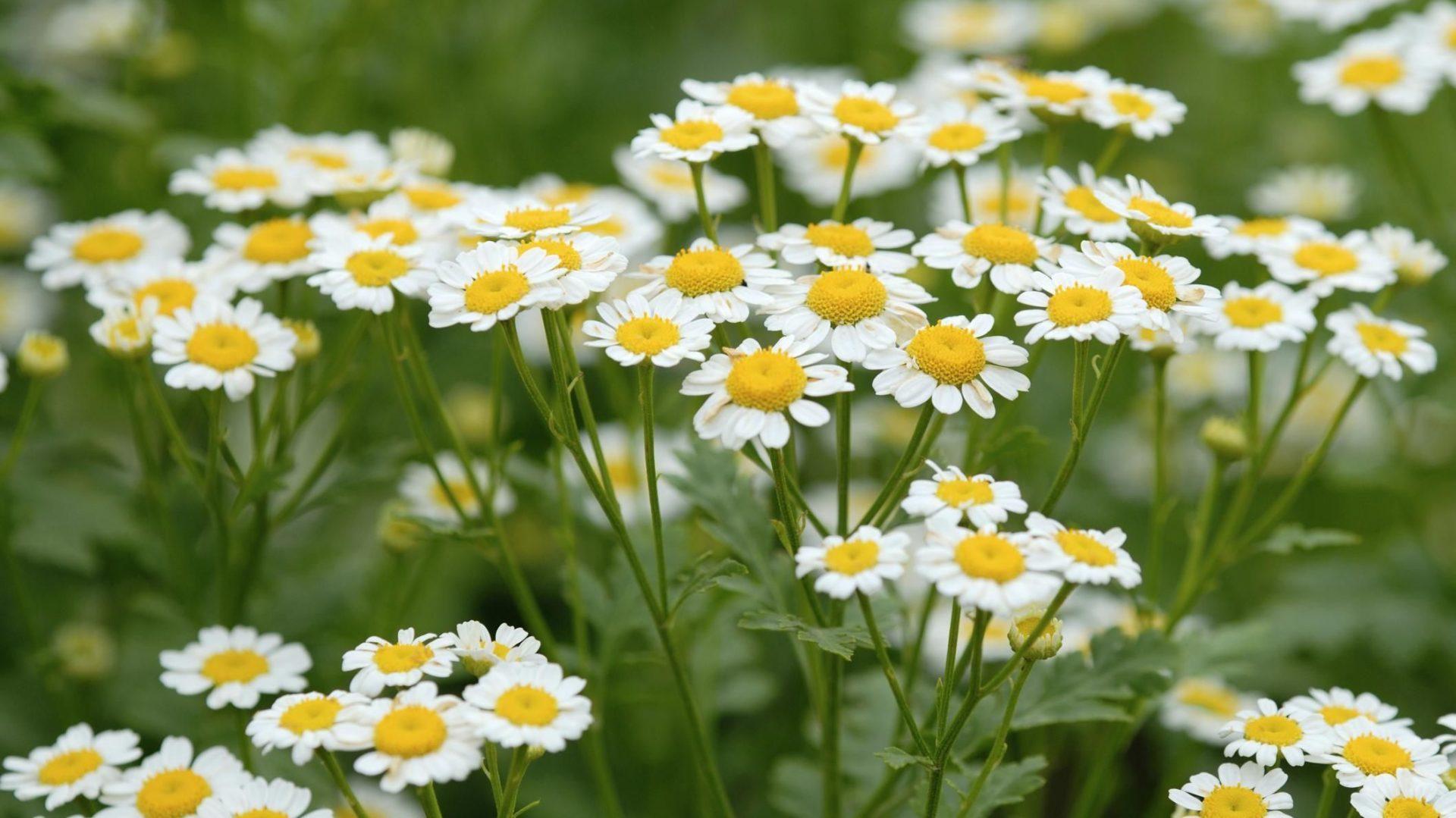 گیاهان دارویی سینامون